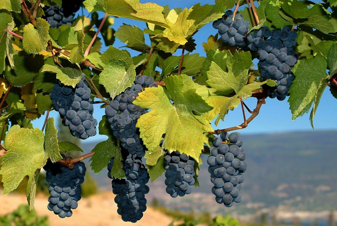 grozdje-1